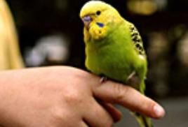 Пернатый друг - волнистый попугай